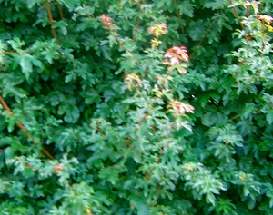 Acer Campestre Hedging Plants And Trees Catalogue