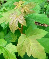 Acer pseudoplatanus hedging plants bare root