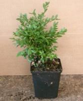 Buxus Green Velvet (Box) hedging plant 15-20cm tall in 7 cm pots