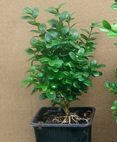 Buxus sempervirens Blauer Heinz (Box) hedging plant Oct-15cm tall in 9 cm pots