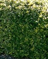 Gold variegated dwarf euonymus