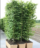 Fagus sylvatica (Beech) hedging plant  200 - in 1m troughscm tall
