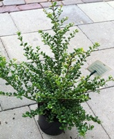 Ilex crenata Convexa (Japanese holly) hedging plant 25-30cm tall in 2 litre pots