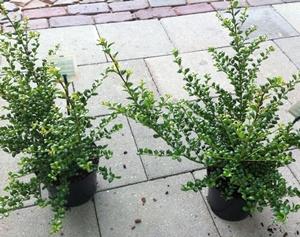 ilex crenata 39 convexa 39 hedging plants and trees catalogue. Black Bedroom Furniture Sets. Home Design Ideas