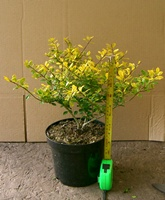 Ilex crenata Golden Gem (Gold leaved Japanese holly) hedging plant 25-30cm tall in 2 litre pots