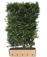 Ilex x meserveae Blue Maid (Blue leaved holly) hedging plant  200 - in 1m troughscm tall