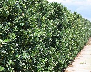 ilex x meserveae 39 blue maid 39 hedging plants and trees. Black Bedroom Furniture Sets. Home Design Ideas