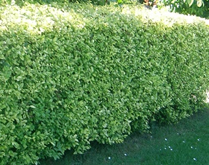 ligustrum ovalifolium 39 aureum 39 hedging plants and trees catalogue. Black Bedroom Furniture Sets. Home Design Ideas