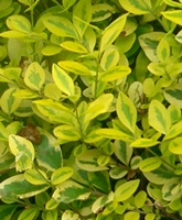 Ligustrum vulgare hedging plants bare root
