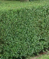 Ligustrum ovalifolium hedging plants bare root