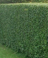 Ligustrum vulgare Atrovirens hedging plants bare root